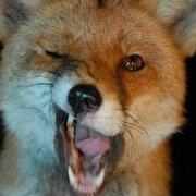 FoxWilde